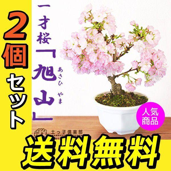 ■エントリーで全品 ポイント5倍!■ 桜盆栽 一才桜 『 旭山 ( あさひやま ) 』 【 送料無料 】 【 2個セット 】 ≪ 花芽付き ≫