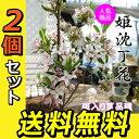 2個セット 斑入りジンチョウゲ『覆輪姫沈丁花』 13.5cmポット苗 送料無料