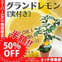 【楽天スーパーSALE 半額商品!】レモン 『 グランドレモン 』 接ぎ木苗 6号鉢植え (※1個なり) ≪ 実付き ≫