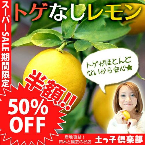 【楽天スーパーSALE 半額商品!】トゲなしレモン 18cmポット接ぎ木苗