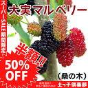 【楽天スーパーSALE 半額商品!】大実マルベリー(桑の木) 15cmポット苗木