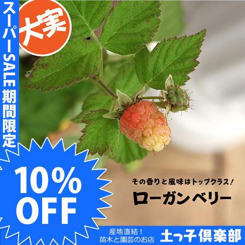 【楽天スーパーSALE 超特価!】希少! ローガンベリー 9cmポット苗