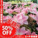 【楽天スーパーSALE 半額商品!】八重咲きアジサイ『ダンスパーティ』 10.5cmポット苗