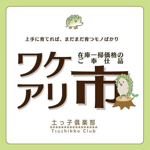 【訳あり・在庫処分】 桜花月 11cm鉢