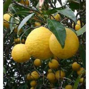 日向夏 ( ニューサマーオレンジ ) 15cmポット接木苗