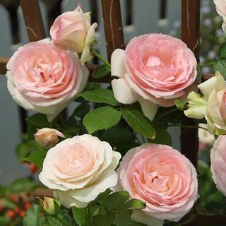 ツルバラ 大輪 『ピエール・ドゥ・ロンサール』 2年生接ぎ木苗 (クライミングローズ) 世界殿堂入り薔薇