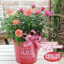 送料無料【華やかミニバラMIXカラーの赤いブリキの寄せ植え ボリュームタイプ】鉢花 鉢植え 誕生日 ミニバラ