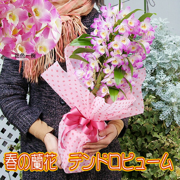 赤字覚悟!人気の春色 デンドロビューム蘭 ピンクのデンドロビュームラン鉢花