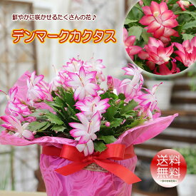 送料無料【鮮やかに咲かせるたくさんの花 デンマークカクタス シャコバサボテン 鉢花】鉢植え花 ギフト プレゼント