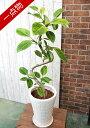 【一点物】観葉植物 斑入りゴムの木・アルテシマ 陶器鉢 A0060
