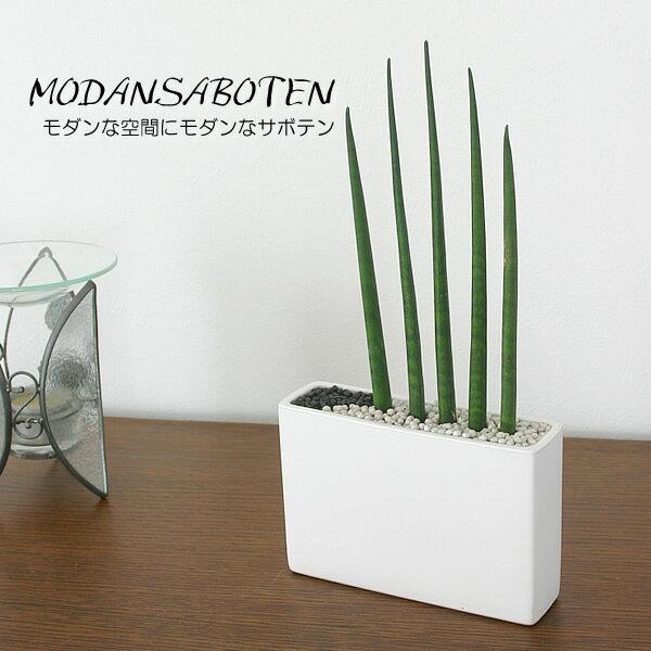 観葉植物 インテリア サンスベリア スタッキー モダンスタイルD-2(角型)【モダンでスタイリッシュ!】【BX80】