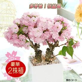 送料無料 豪華な2本植え 桜 盆栽 生産者さんが選んだ多芽株 たくさん花芽が付いています 咲いた時のボリュームが違う豪華な2本植え お家でお気軽お花見【一才桜(旭山桜)陶器植え】さくら サクラ 観葉植物