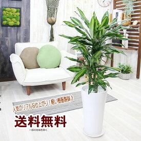 送料無料 観葉植物 インテリア ドラセナ・ジェレ サイズ大 リアルで軽い樹脂製鉢 ギフト プレゼント【BX160】