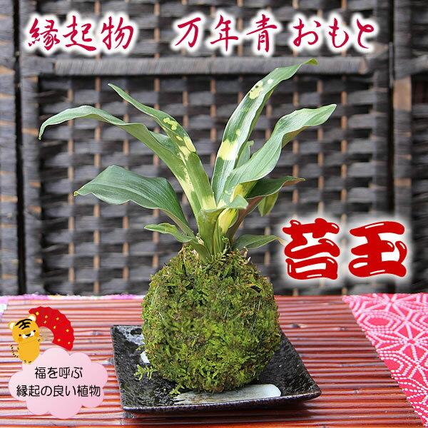 縁起の良い植物 引越しの祝いに開運 おもと 苔玉で飾る 盆栽 万年青(オモト)【こけ玉 コケダマ こけだま】