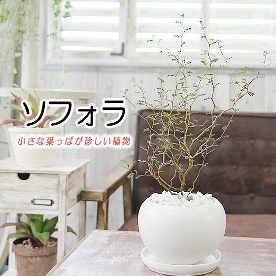 【ソフォラ メルヘンの木】観葉植物 モダン インテリア アジアン 新築祝い 開店祝い 引越し祝い 誕生日 結婚記念日