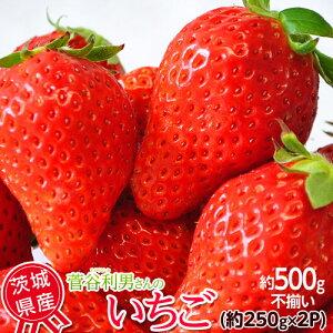 いちご イチゴ 苺 茨城県産 菅谷利男さんのいちご お試し不揃い 1箱約500g (約250g×2P) ※冷蔵 送料無料