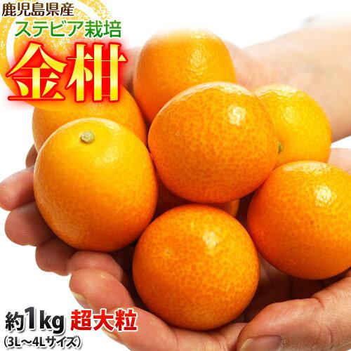 送料無料 金柑 鹿児島県産 ステビア栽培きんかん 超大粒3L〜4Lサイズ 約1kg