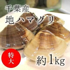 天然 地はまぐり 生(活け)特大サイズ(約100-120g/個)約1kg 千葉産 BBQには最適!出汁の旨味が違う! ギフト[豊洲直送]地ハマグリ 地蛤 バーベキュー 海鮮 BBQ お歳暮 御歳暮【jihamaguri1kg