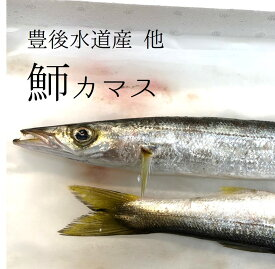 高級カマス 豊後水道産 他 かます 高級鮮魚 豊洲目利き厳選 1尾150-200g前後 1キロ 刺身 生食【カマス150−200g1K】 冷蔵