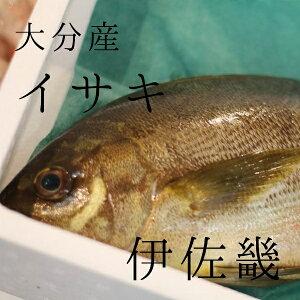 イサキ 約1kg/1尾 大分産 他 豊洲直送 伊佐木 鮮魚【高級イサキ1K】 冷蔵