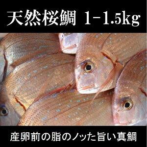 桜鯛 天然サクラ鯛 1-1.5kg 真鯛 豊洲直送 鮮魚【天然真鯛1-1.5K】 冷蔵