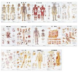 ★ポイント最大15倍★【全国配送可】-人体解剖学チャート(ポスターサイズ) ラミネートバン 品番 my11-2230-0016 1入り-【MY医科器機】