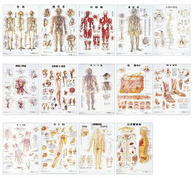 ★ポイント最大15倍★【全国配送可】-人体解剖学チャート(ポスターサイズ) ラミネートバン 品番 my11-2230-0036 1入り-【MY医科器機】