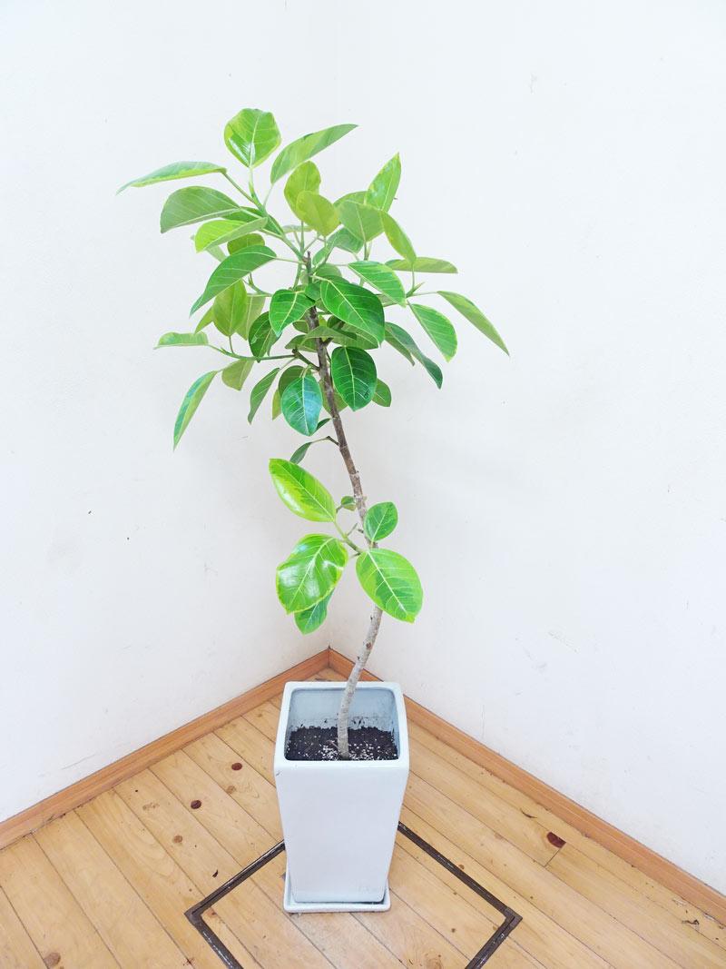 人気のスクエア陶器鉢仕立て 素敵な樹形 アルティシーマ 145cm 9号鉢【写真の商品をお届けします。】送料無料 癒し系 シンボルツリー ガーデニング 新築祝い 引越し祝い 開業祝 開店祝い 移転祝い 誕生日祝い