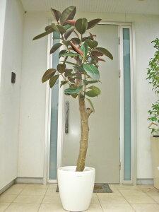 朴仕立てフィカス・アビジャン(クロゴム)170cm前後10号プラ鉢【鉢カバー別売り】希少な品種 ブラックフォーマルなゴムの木です【写真のような商品をお届けします。】癒し系 シンボルツ