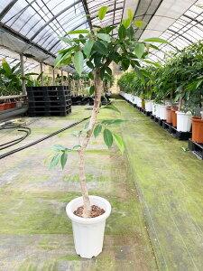 超希少 朴アマゾンオリーブ 130cm前後 8号鉢 ユーカリの仲間で大変珍しい観葉植物です【写真のような商品をお届けします。】癒し系 ガーデニング 新築祝い 引越し祝い 開業祝 開店祝い 移転