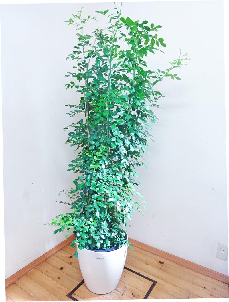 【送料無料】小さい葉っぱがグッドなシルクジャスミン/170cm前後(10号プラ鉢)【鉢カバー別売り】