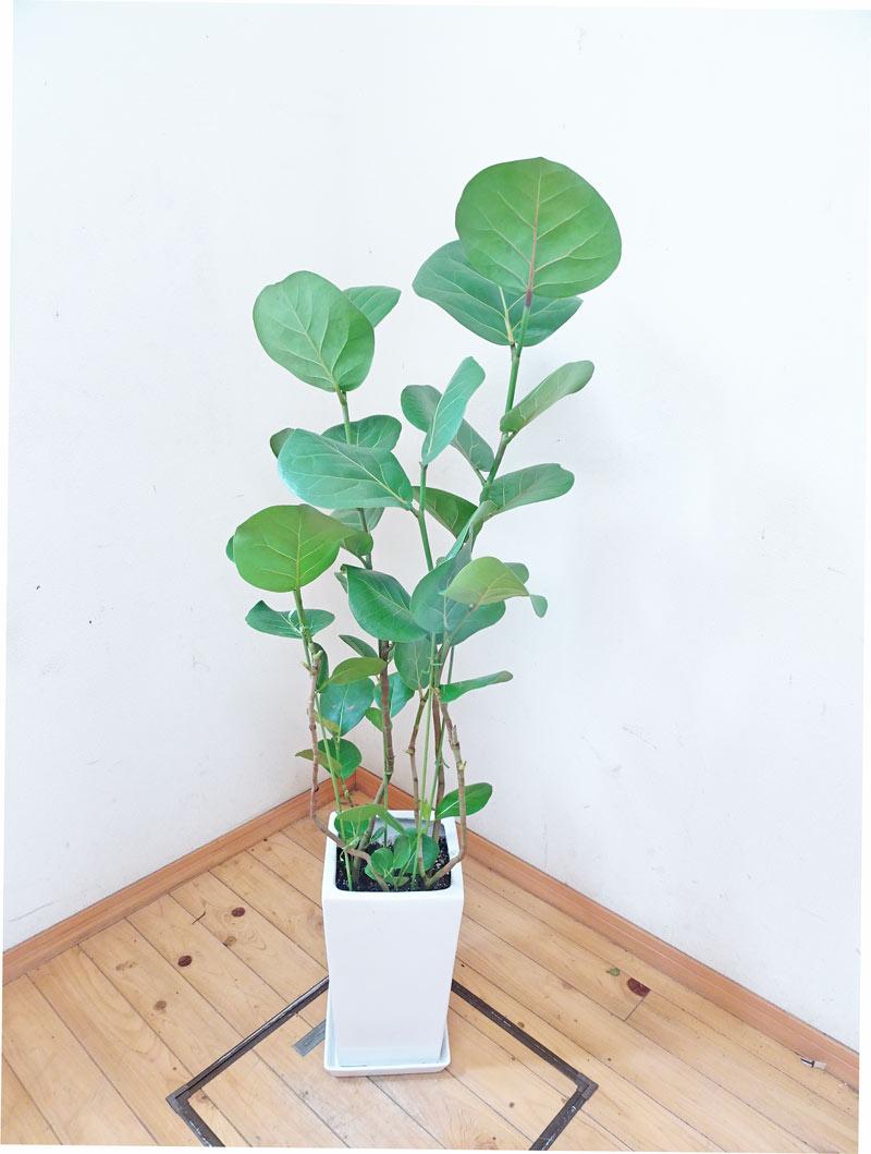 【送料無料】【smtb-ms】<一鉢限定>人気のスクエア陶器鉢仕立ての丸っぽい葉っぱが可愛いシーグレープ/130cm(8号)