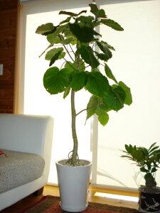 売れて、売れて、じぇじぇじぇ 人気の陶器鉢ウンベラータ 170cm前後 10号鉢 人気商品です【写真はイメージです】観葉植物 癒し系 シンボルツリー ガーデニング 新築祝い 引越し祝い 開業祝
