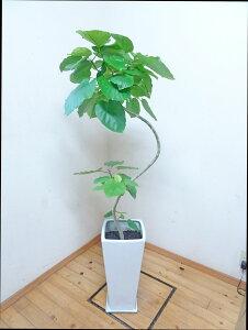 ロングスクエア陶器鉢仕立ての綺麗な樹形のフィカス・ウンベラータ 140cm前後 9号鉢【写真のような商品をお届けします】観葉植物 癒し系 シンボルツリー ガーデニング 新築祝い 引越し祝い