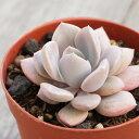 パープルクイーン グラプトベリア Graptoveria 多肉植物 インテリア グリーン