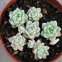 リトルビューティー 7.5cmポット セダム 福岡県産 多肉植物 多肉 観葉植物 インテリアグリーン 寄せ植えに 観葉植物 …