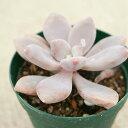 オビフェルム 7.5cmポット パキフィッツム Pachyphytum oviferum 福岡県産 多肉植物 多肉 観葉植物 インテリアグリー…