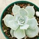 リラシナ 7.5cmポット エケベリア Echeveria Lilacina 福岡県産 多肉植物 多肉 観葉植物 インテリアグリーン 寄せ植え…