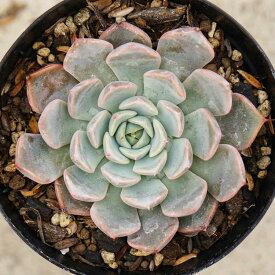 ピンクザラゴーサ 7.5cmポット エケベリア Echeveria pink zaragoza 希少 福岡県産 多肉植物 多肉 観葉植物 インテリアグリーン 寄せ植えに (まとめ買いがお得♪)