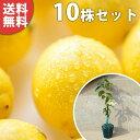 ■送料無料■【10本セット】 1本で実がなる レモン・リスボンレモン 苗木 1年生 レモンの木 接ぎ木 苗 柑橘 素掘りポ…