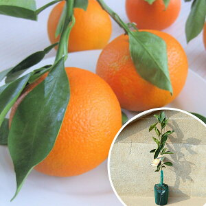 柑橘・ダイダイ だいだい ダイダイ 酢だいだい 酢橙 みかん 接ぎ木 苗木 1年生 苗 素掘りポット苗 樹高0.4m前後 15cmポット 果樹苗 果樹 果樹園用 植木 木 (お得なセット販売もございます)