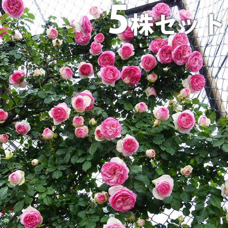 【送料無料】【5本セット】 【即納】ピエール・ド・ロンサール 樹高0.3m前後 12cmポット[バラ苗]2年生大苗 つるバラ 4号ポット苗 大輪 桃系 Pierre de Ronsard クライミング・ローズ Climbing Rose ピエールドゥロンサール 苗木 植木 苗 庭木