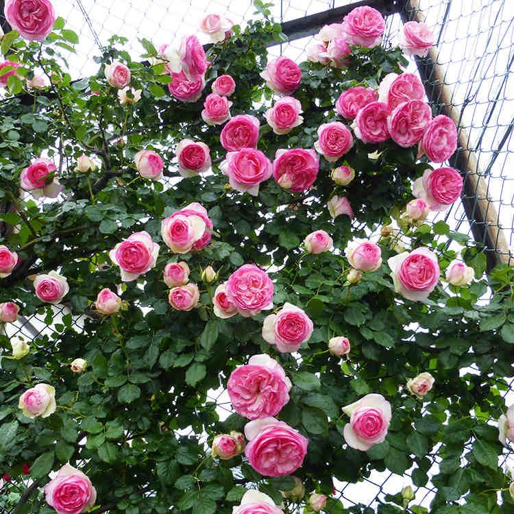 【即納】ピエール・ド・ロンサール 樹高0.3m前後 12cmポット[バラ苗]2年生大苗 つるバラ 4号ポット苗 大輪 桃系 Pierre de Ronsard クライミング・ローズ Climbing Rose ピエールドゥロンサール 苗木 植木 苗 庭木 (お得なセット販売もございます)