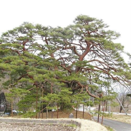【送料無料】【20本セット】アカマツ樹高0.5m前後10.5cmポット赤松(雌松メマツ)苗木植木苗庭木