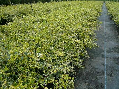アベリア・ホープレイズ樹高0.2m前後15cmポット苗木植木苗庭木(お得なセット販売もございます)