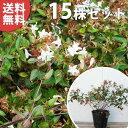 ■送料無料■【15本セット】 アベリア・ベーシック 樹高0.3m前後 15cmポット ポット入り生垣用 あべりあ・べーしっく …