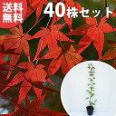 ■送料無料■【40本セット】 イロハモミジ 樹高0.4m前後 10.5cmポット (いろは紅葉 紅葉 モミジ もみじ かえで カエデ…