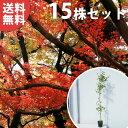 ■送料無料■【15本セット】 イロハモミジ 樹高1.0m前後 12cmポット (いろは紅葉 イロハカエデ いろは楓 紅葉 モミジ)…