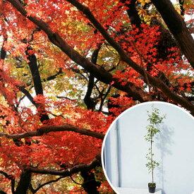 ■送料無料■イロハモミジ 樹高0.8m前後 10.5cmポット (いろは紅葉 イロハカエデ いろは楓 紅葉 モミジ) 苗木 植木 苗 庭木 生け垣 シンボルツリー 落葉樹(お得なセット販売もございます)