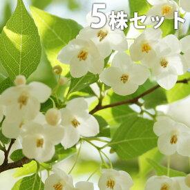 【5本セット】 エゴノキ 樹高0.5m前後 10.5cmポット えごのき エゴの木 白い清楚な花が、枝いっぱいに咲く木 苗木 植木 苗 庭木 生け垣 シンボルツリー 落葉樹